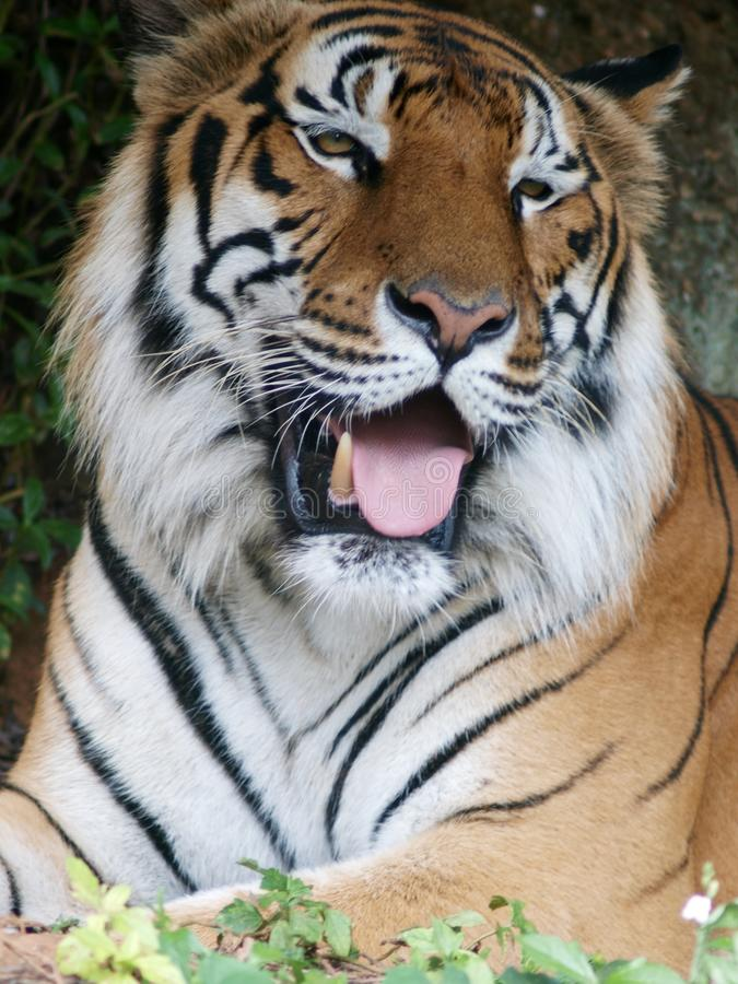 Large cute indian or asian black yellow stripes tiger portraits. Face crop closeup of a large cute indian or asian black yellow stripes tiger portraits stock photo