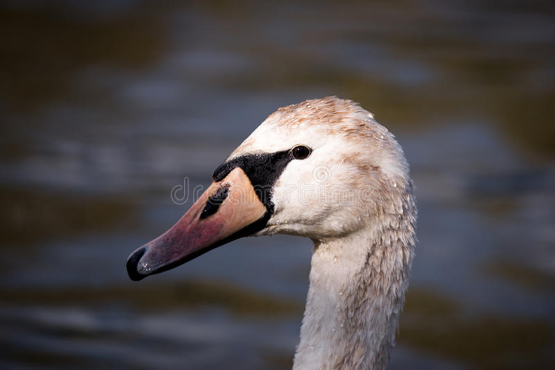 Large Cygnet On Water Looking Left. Large cygnet (yearling swan) shown in side view in landscape orientation against water at River Yare, Norfolk royalty free stock photos