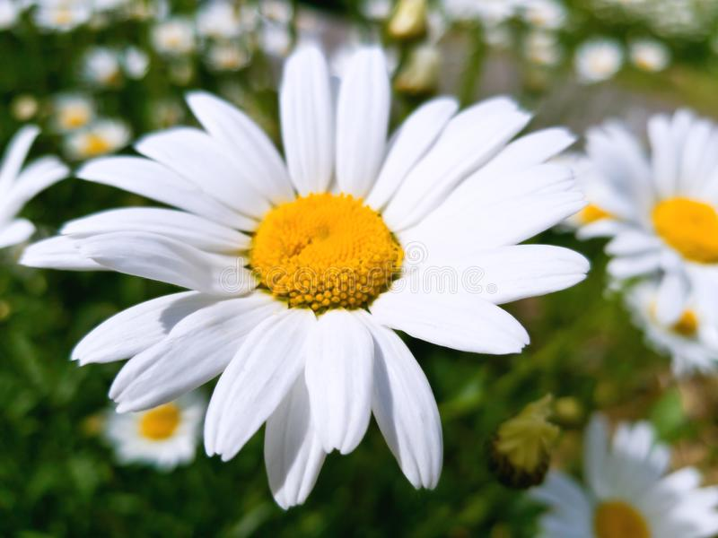 Large Daisy flower on a background of a chamomile field in a bright Sunny day. Bright white petals and yellow center of the flower royalty free stock image