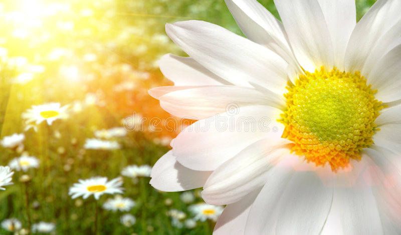 Large daisy in a sunlit field stock photography