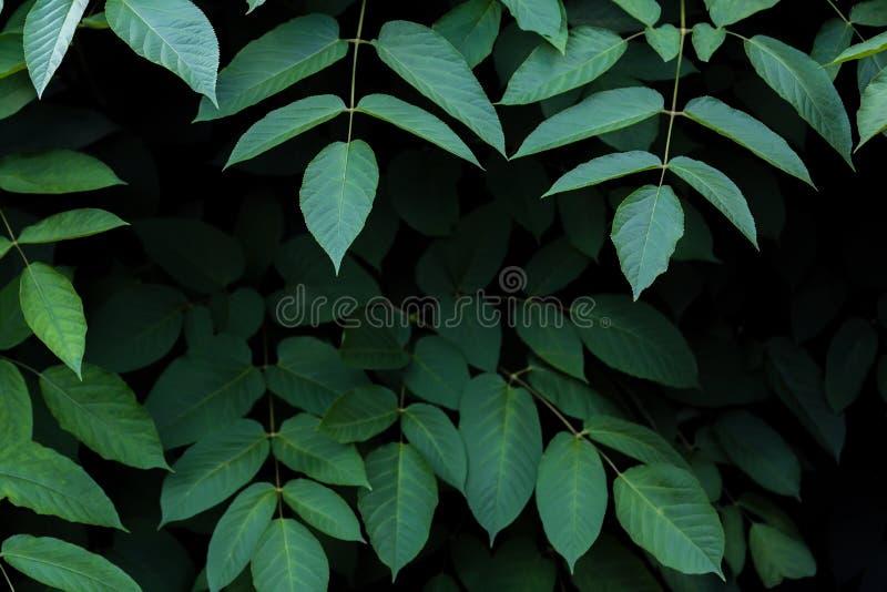 Large dark green shrub leaves on dark background. Large dark green shrub leavesn stock image