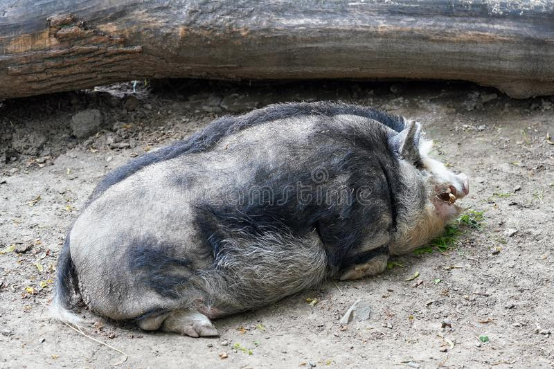 Large dirty Mangalica also Mangalitsa or Mangalitza - Hungarian breed of domestic pig laying on ground stock photography