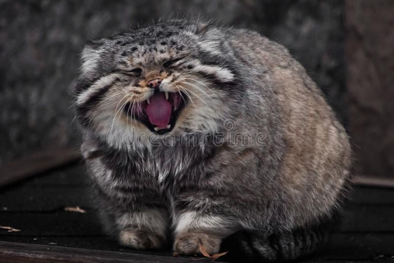 large and dissatisfied wild cat, Manul, is shouting loudly, opening his red mouth, predatory and evil stock image