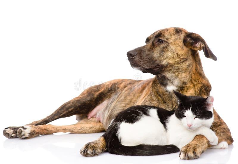 Large dog and cat lying together. on white background.  stock photo