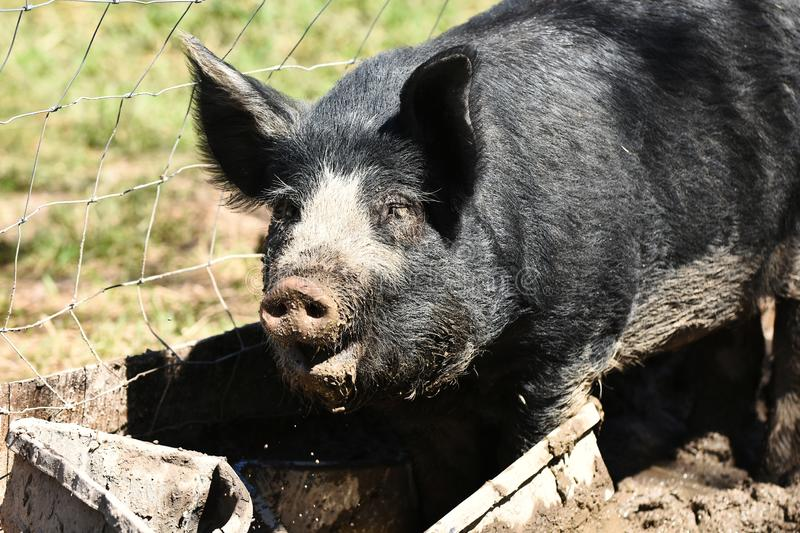 Large Domestic Pig Close Up royalty free stock photography