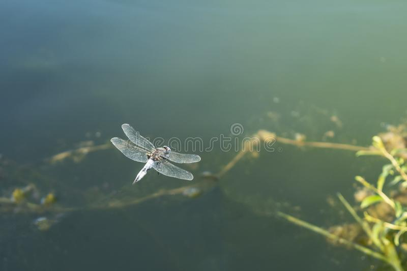 Large dragonfly in hovering flight over water. Close up stock images