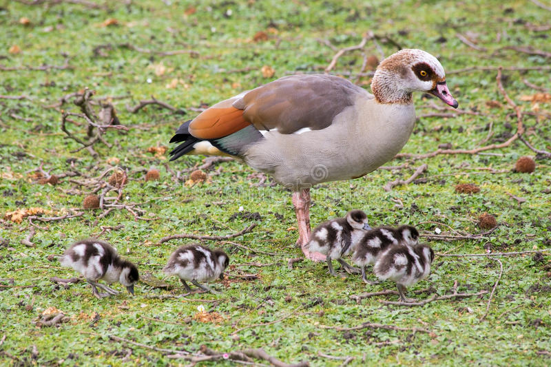 A large duck and baby ducklings in a park stock photography