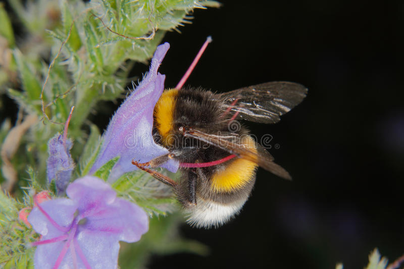 Large earth bumblebee (Bombus terrestris). On a flower royalty free stock photos