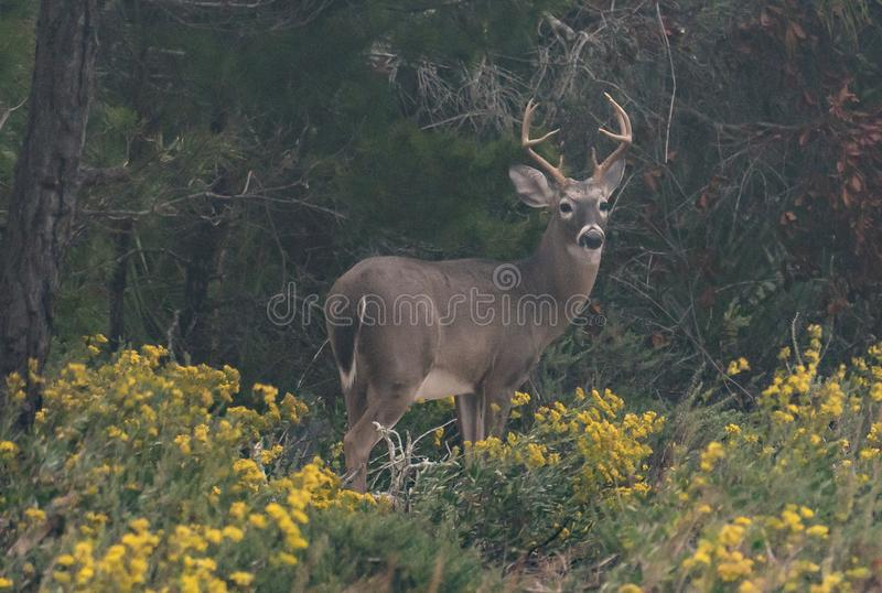 Large eight point buck stock photography