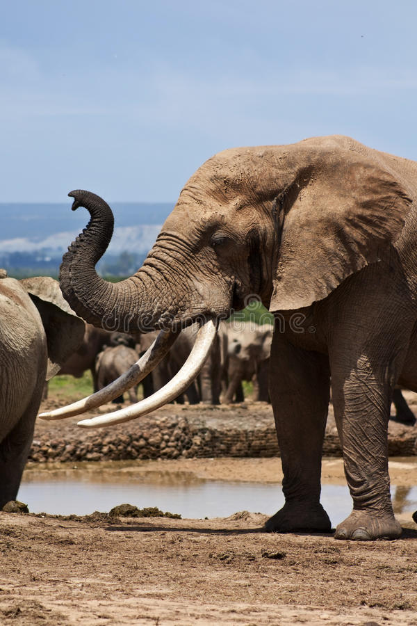 Large Elephant Bull in Must royalty free stock photography