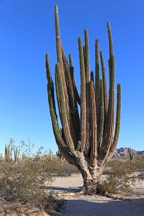 Large elephant Cardon cactus at a desert with blue sky, Baja California, Mexico. royalty free stock photos