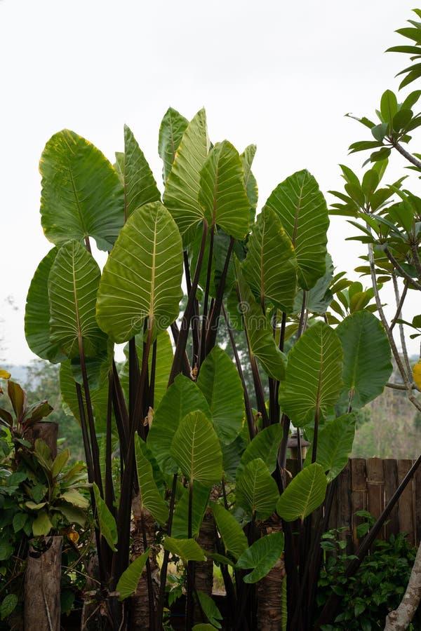 A large elephant ear plant. In the backyard garden royalty free stock photos