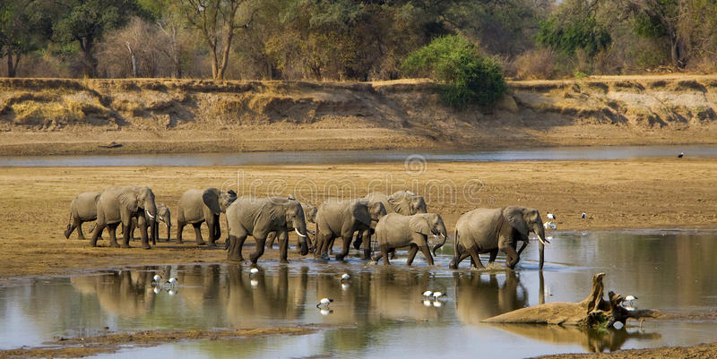 Large elephant herd crossing river royalty free stock photos