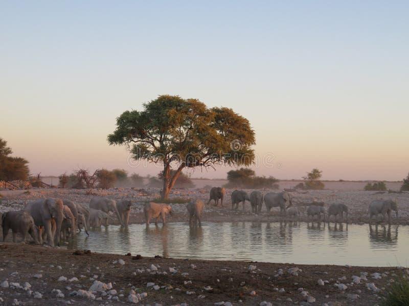 Large Elephant Herd at Water Hole in Etosha National Park, Namibia, Africa royalty free stock photos