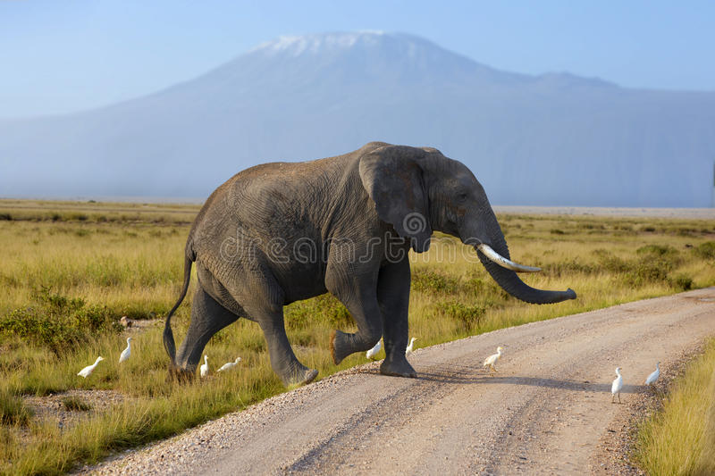 Large elephant with a Mount Kilimanjaro in the background. Africa stock image