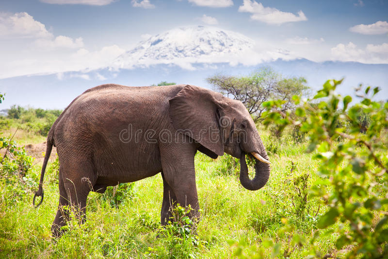 Large elephant with Mount Kilimanjaro. Tanzania. Large adult elephant with a snow covered Mount Kilimanjaro in the background. Tanzania stock photos