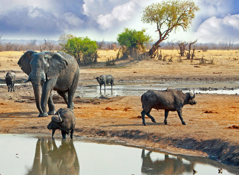 Large Elephant walking behind buffalo at a waterhole in Hwange National Park, Zimbabwe, Southern Africa stock photos