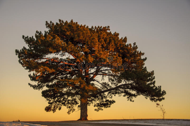 Download Large Elm tree stock image. Image of sunset, elms, giant - 36963885