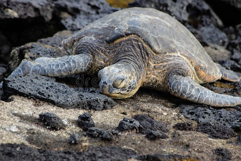 An endangered sea turtle sleeping on a rocky shoreline royalty free stock photography