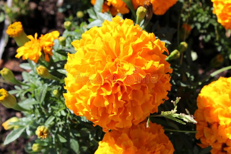 Large English marigold or Pot marigold fully open blooming orange flower surrounded with other flowers and flower buds on dark. Large English marigold or Pot royalty free stock image