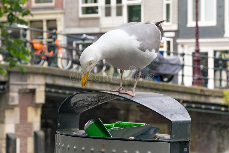 Large European herring gull Larus argentatus. Large European herring gull Larus argentatus on a trash bin near the one of the old bridges in the historic part royalty free stock images