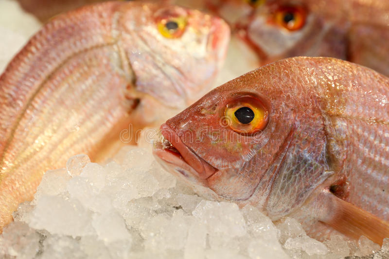 Large-eye dentex or Dentex macrophthalmus fishes on ice for sale in the greek fish market. Large-eye dentex or Dentex macrophthalmus on ice for salle in the stock image