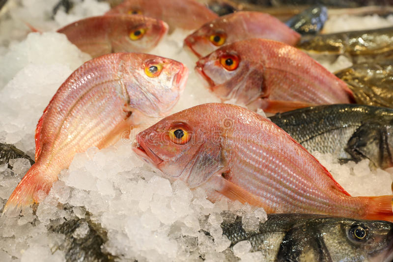 Large-eye dentex or Dentex macrophthalmus fishes on ice for sale in the greek fish market. Large-eye dentex or Dentex macrophthalmus on ice for salle in the stock photo