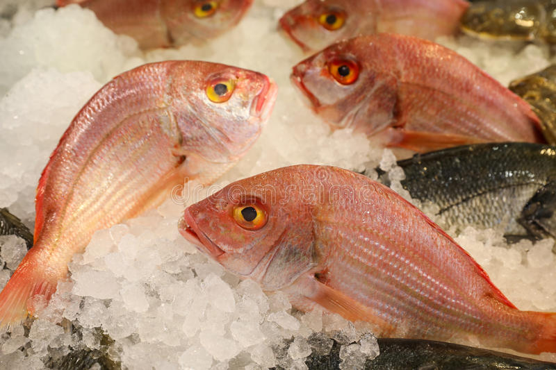 Large-eye dentex or Dentex macrophthalmus fishes on ice for sale in the greek fish market. Large-eye dentex or Dentex macrophthalmus on ice for salle in the stock photos