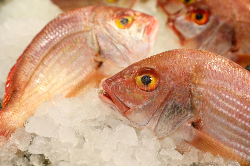 Large-eye dentex or Dentex macrophthalmus fishes on ice for sale in the greek fish market. Large-eye dentex or Dentex macrophthalmus on ice for salle in the royalty free stock images