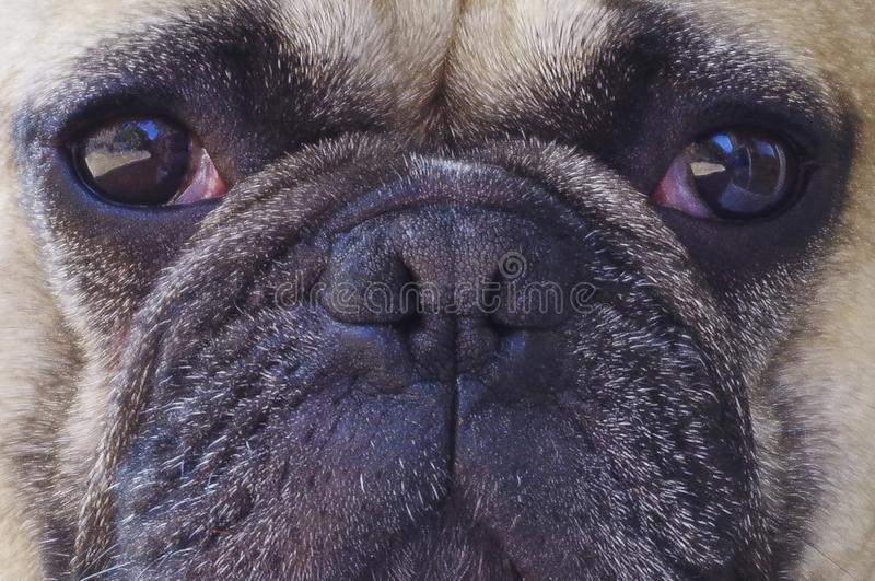 Pug faced dog portrait royalty free stock image
