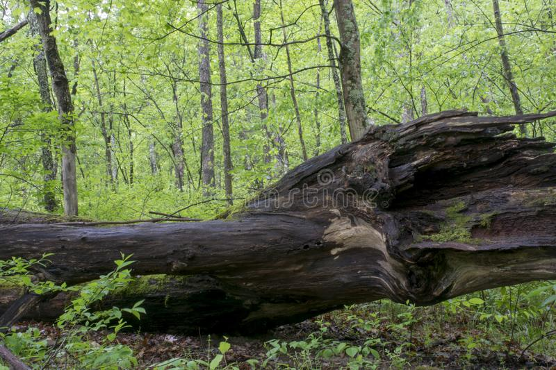 Large Fallen tree n the forest stock photography