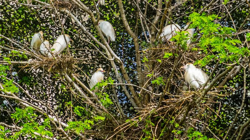 Large family of cattle egrets nesting in a tree, herons sitting in their nest in a tree, Bird breeding season during spring stock photography