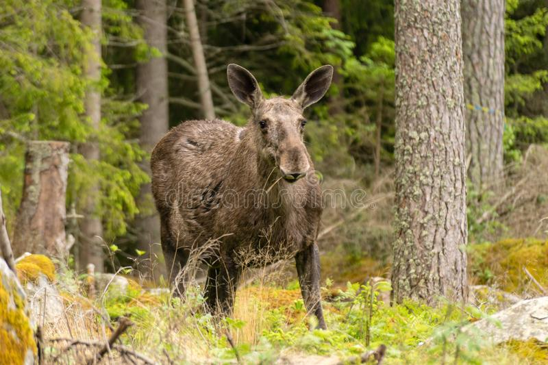 Large female moose grazing in a forest royalty free stock images