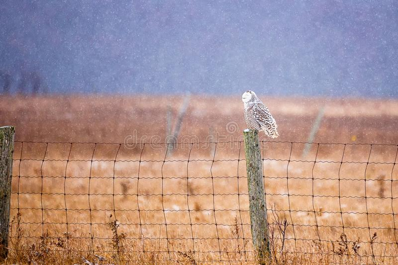 A large female snowy owl sitting on a farm fence post in snowfall royalty free stock photo