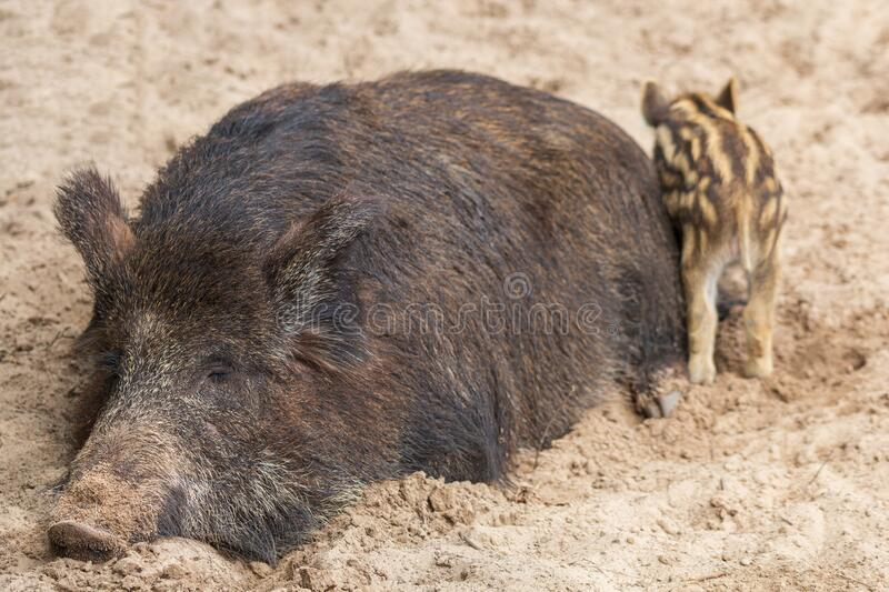 A large female wild boar with offspring sleeps comfortably in the mud.  stock photography