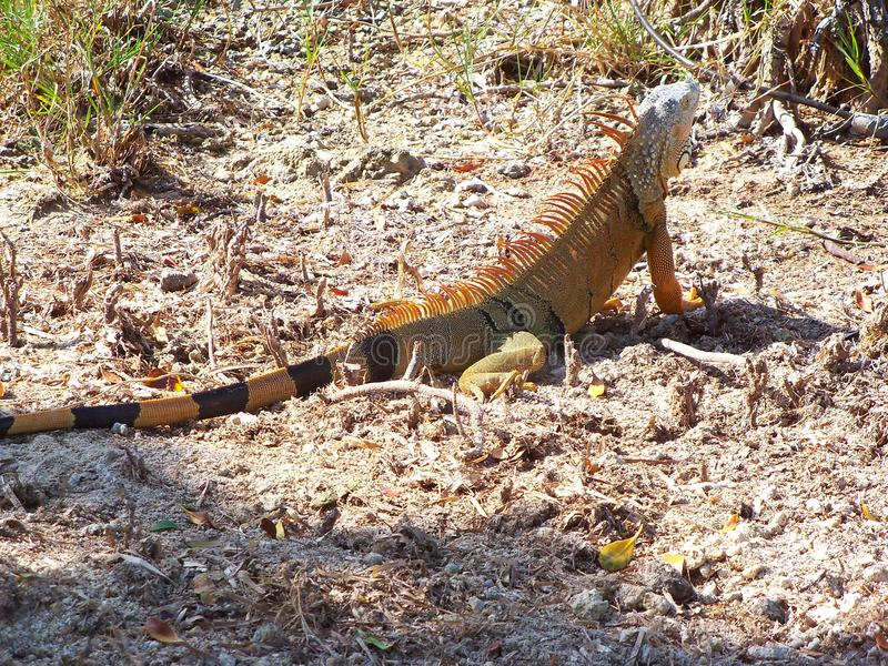 A large feral Iguana in Florida. A large feral Iguana hunts for his breakfast in the morning on the short of Florida Bay royalty free stock photos