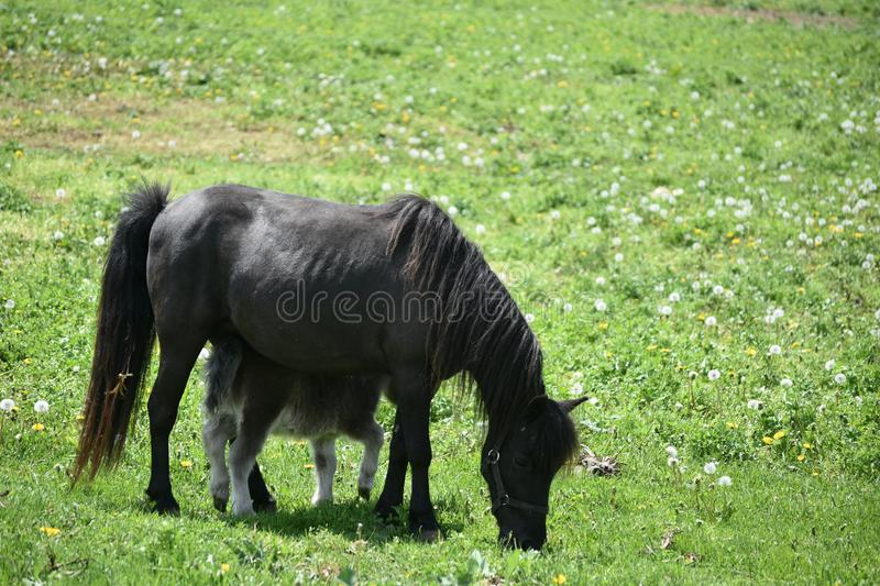 Black Miniature Horse Mare and Colt in a Large Field stock photos