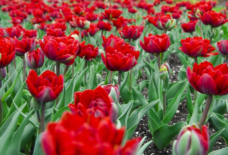 A large field of bright red tulips with green stems stock photos
