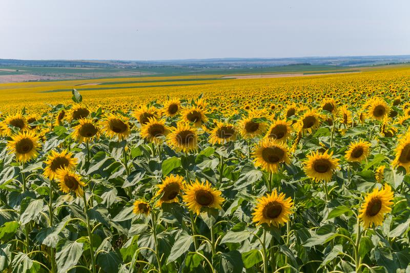 A large field of golden sunflowers and endless meadows in the distance to the horizon line. For your design royalty free stock images