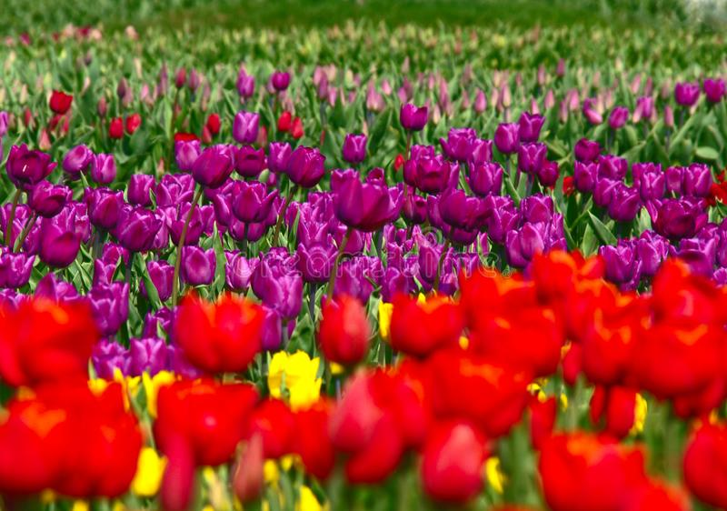 A large field with growing colorful tulips royalty free stock image