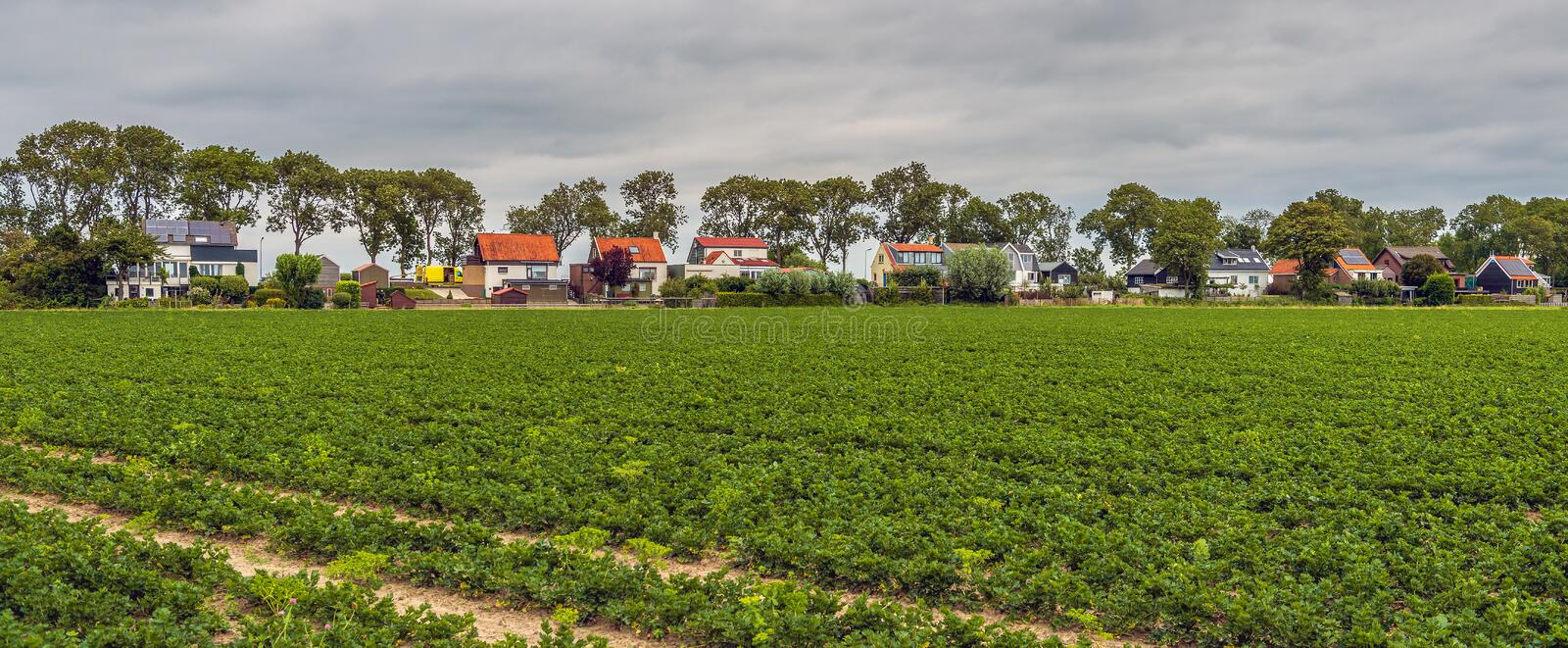Large field with organically grown celery plants in long rows. Large field near the Dutch village of Zuid-Beijerland, South Holland, with organically grown stock photos