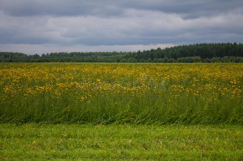 A large field with yellow flowers by the road. A large field of ripe rye with green grass in the foreground and trees in the background on a cloudy summer day stock photos