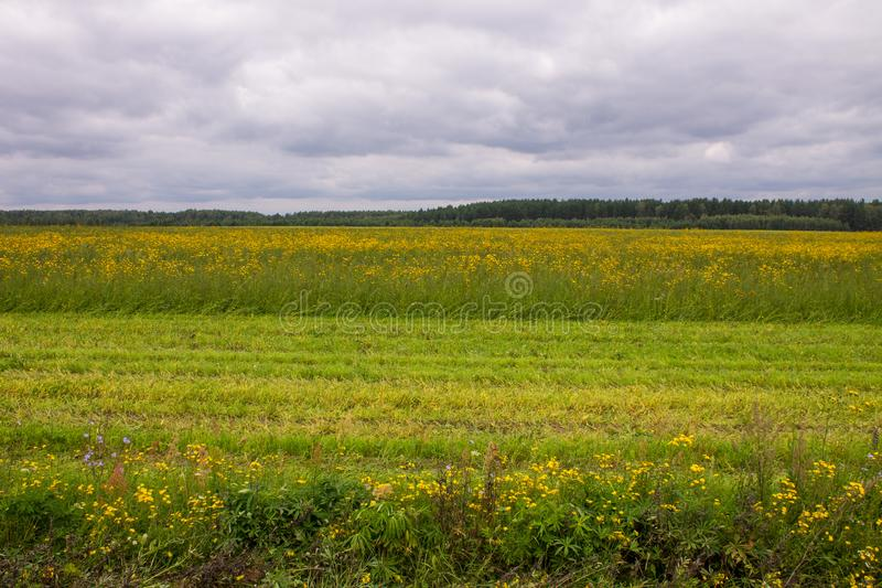 A large field with yellow flowers by the road. A large field of ripe rye with green grass in the foreground and trees in the background on a cloudy summer day royalty free stock images