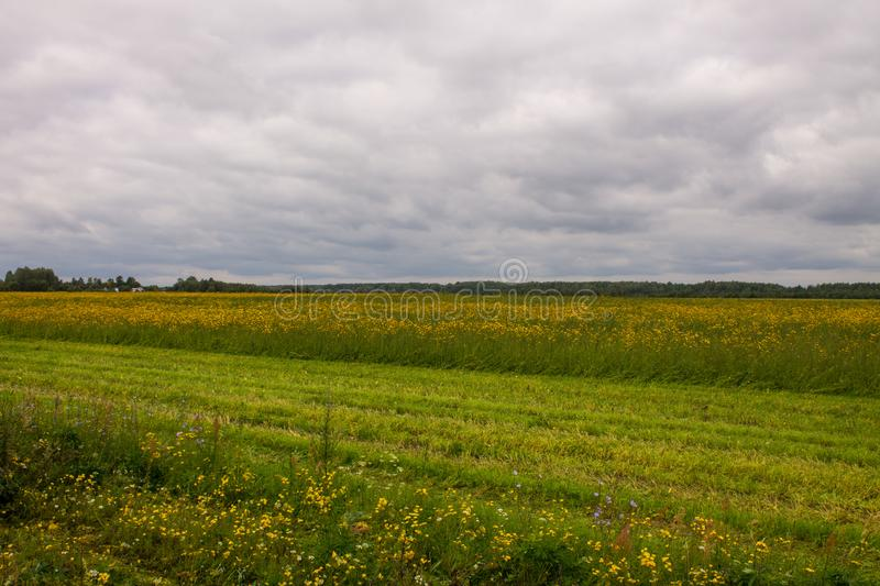 A large field with yellow flowers by the road. A large field of ripe rye with green grass in the foreground and trees in the background on a cloudy summer day royalty free stock photo