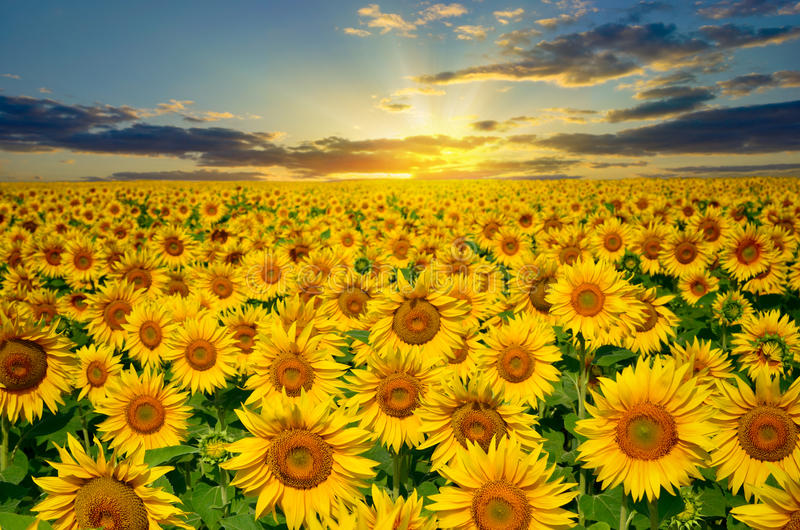 Large Field Of Sunflowers On A Background Sunset Sun Stock