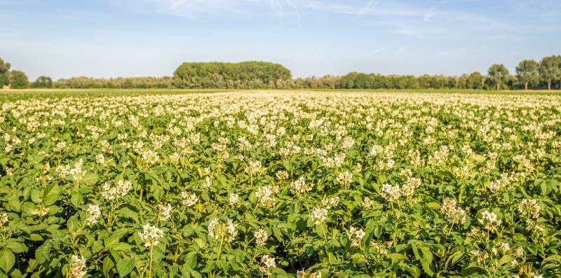 Panoramic image with flowering potato plants royalty free stock photo