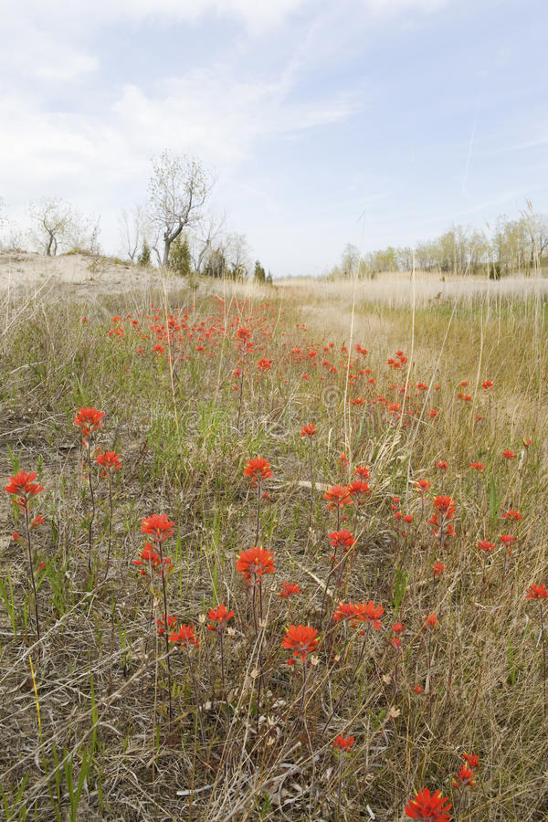 A large field of Wild Indian Paintbrush. In Canada royalty free stock photos