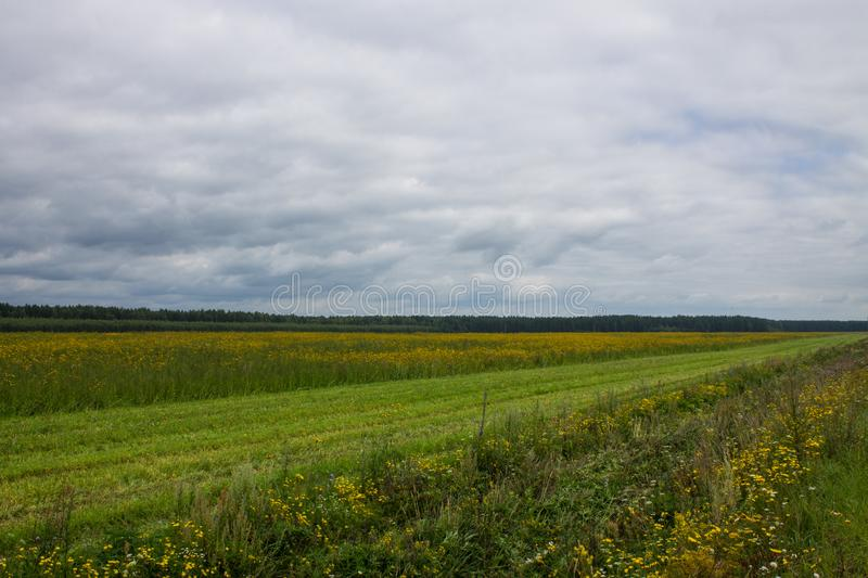 A large field with yellow flowers by the road. A large field of ripe rye with green grass in the foreground and trees in the background on a cloudy summer day royalty free stock photos