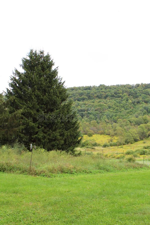 Large fir tree situated between a green grassy field and a tree covered hillside stock photography