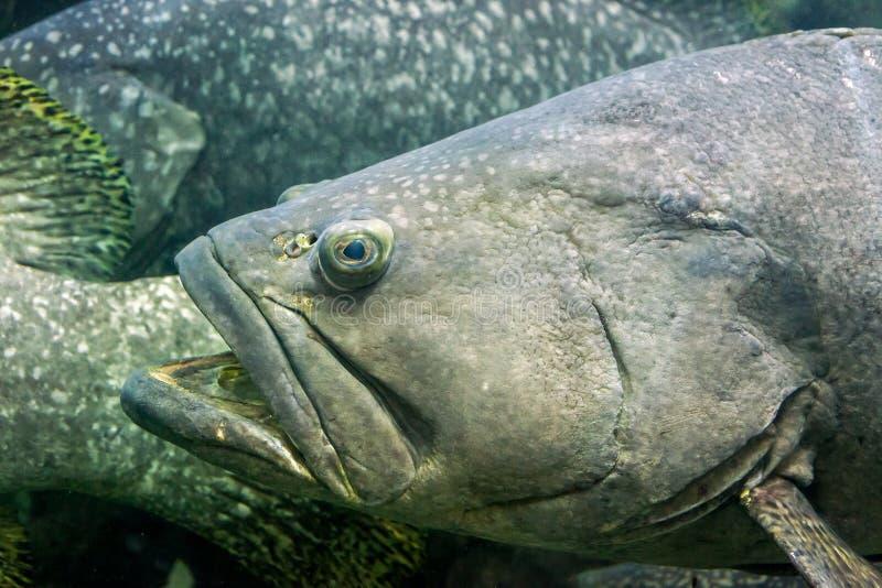 Large fish Giant grouper Epinephelus lanceolatus in aquarium royalty free stock photo